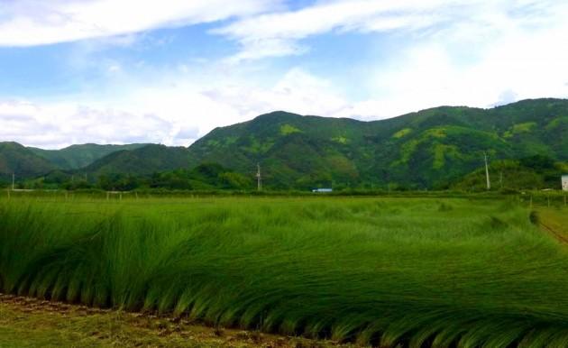 土佐 イ草の風景