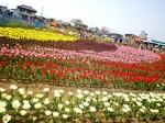 かがみ花フェスタチューリップ祭り