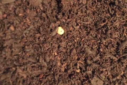 カブトムシ卵